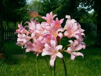 We like our resurrection lilies. I took these particular pictures with a camera borrowed from Randy.