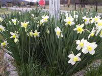 Are these daffodils? about March 22.